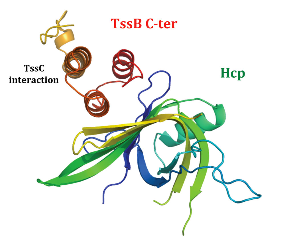Representation of the Hcp / TssBC-ter interaction highlighting the contacts between the TssB C-terminal hairpin and the Hcp outer surface. The site of interaction of TssC on TssB is also indicated.