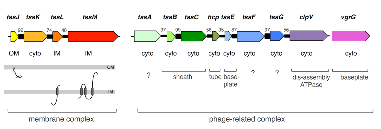 Fig. 1. Schematic representation of the T6SS genes. The co-occurrence between the genes (adapted from Boyer et al., 2009) and the sub-cellular localization of the corresponding proteins are indicated (cyto, cytoplasm ; IM, inner membrane; OM, outer membrane). The localization and topology of membrane proteins are indicated, as well as the homologies between T6SS and phage components (from Publication 9-21).