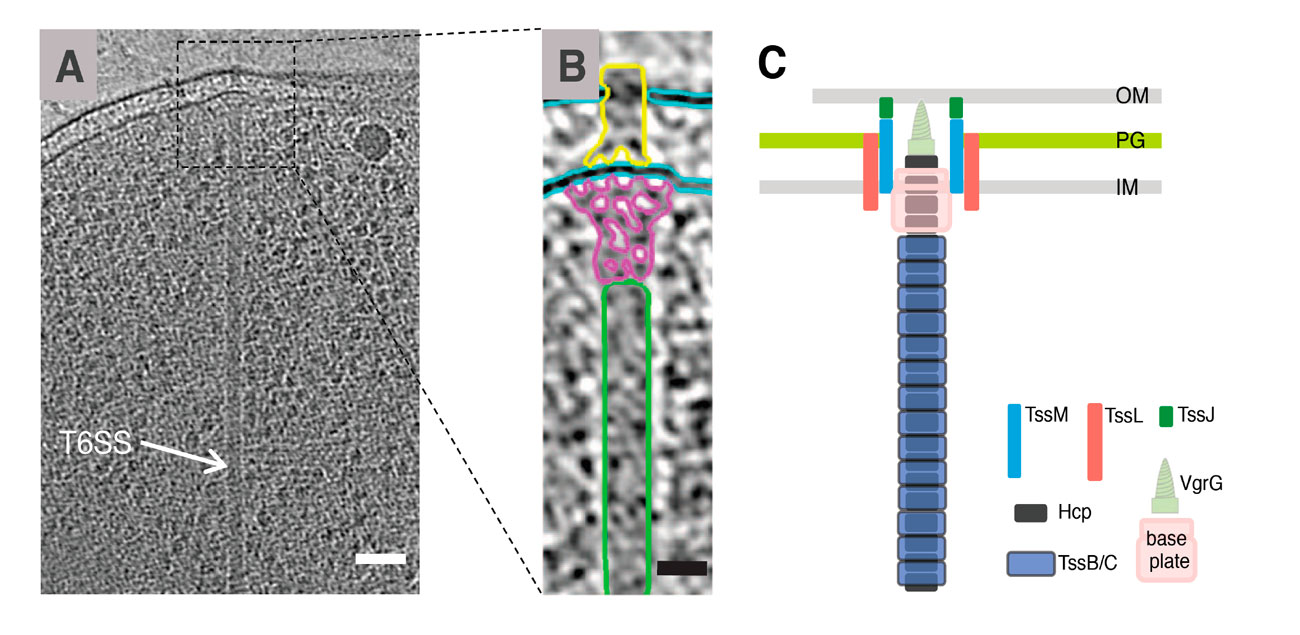 Fig. 2. T6SS architecture. (A) Cryo-electron micrograph highlighting the presence of a micrometer-long tubular structure in the cytoplasm of a Vibrio cholera cell )(after Basler et al., 2012). (B) the magnification highlights the putative sub-complexes (yellow, membrane complex ; pink, baseplate ; green, tail tube/sheath)(after Basler et al., 2012). (C) Schematic representation of the T6SS architecture (OM, outer membrane; PG, peptidoglycan; IM, inner membrane). (from [Publication 9-21])