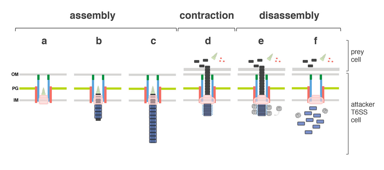 Fig. 3. Schematic model of the T6SS mechanism of action. From left to right : assembly of the T6SS starting with the membrane complex, the baseplate structure (a) and the tail (b,c), contraction of the sheath, target cell membrane perforation and effector delivery (d), recruitment of ClpV (e) and sheath recycling (f).