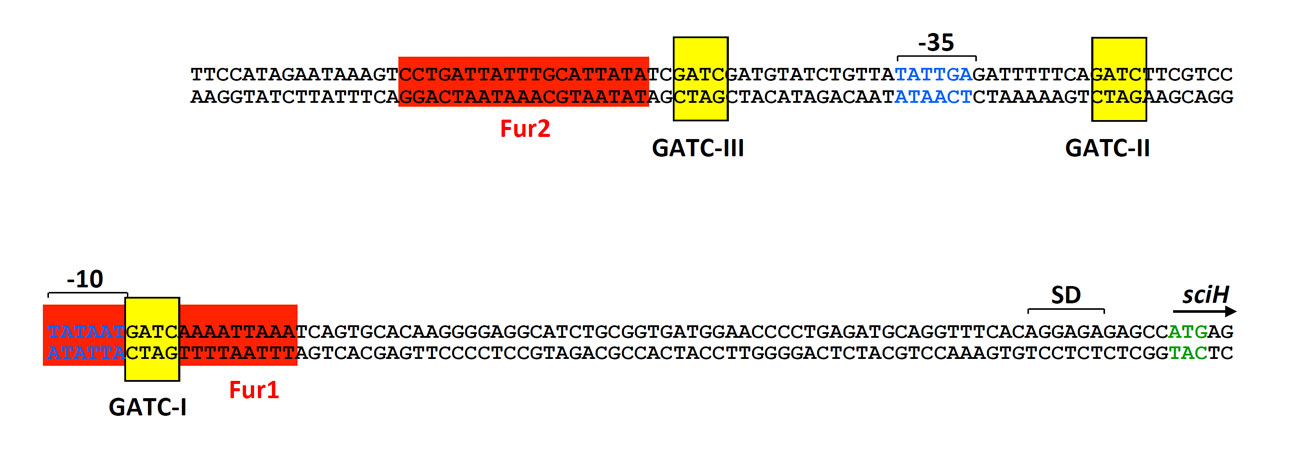 Promoter sequence of the sci-1 T6SS gene cluster. The position of the -10 and -35 is shown in blue letters. The Fur boxes and the Dam methylation sites are highlighted in red and yellow respectively.